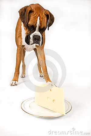 Boxer with Cheese