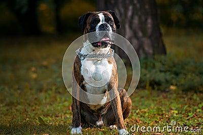 Boxer Detoured