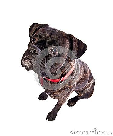 Free Boxer Dog Royalty Free Stock Images - 13682729