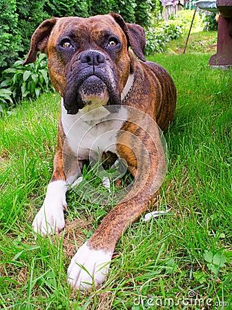 Free Boxer Dog Royalty Free Stock Photography - 20017167