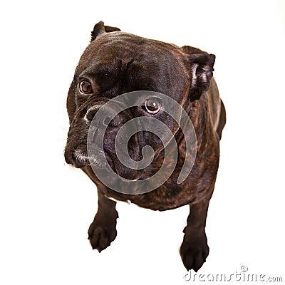 Free Boxer Dog Royalty Free Stock Photo - 23225655