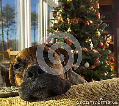 Free Boxer Dog At Christmas Stock Photo - 8009840