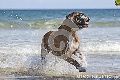 Boxer dog and ball
