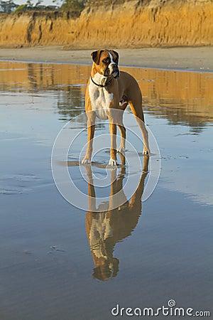 Boxer Dog Beach Reflection