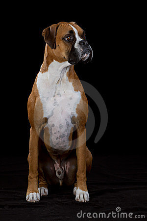 Boxer Dog on Black