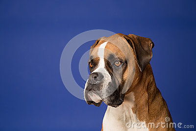 Boxer Dog on Blue