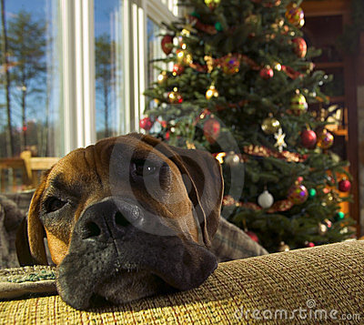 Boxer Dog at Christmas