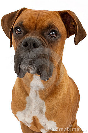 Free Boxer Dog Closeup Royalty Free Stock Image - 17818466