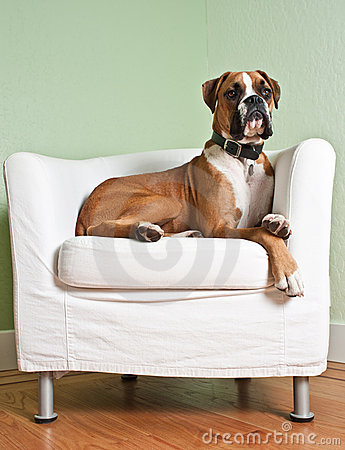 Free Boxer Dog In Chair Stock Photo - 18946670