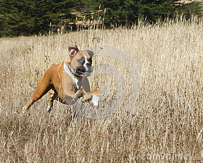 Boxer Dog in Motion