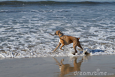 Boxer Dog in Ocean