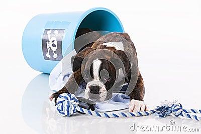 Boxer dog playing