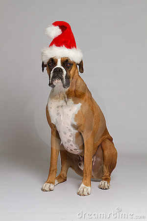 Boxer Dog in Santa Hat