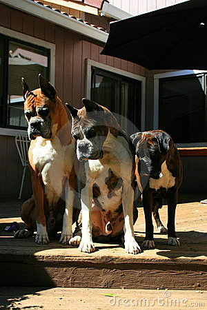 Boxer Dogs Looking Down