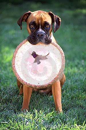 Boxer with frisbee