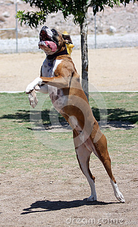 Boxer jumping for his toy