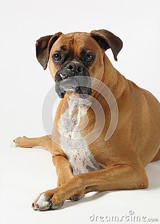 Boxer male