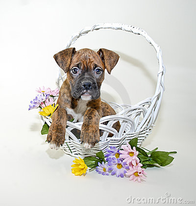 Boxer Puppy in Basket with Spring Flowers.