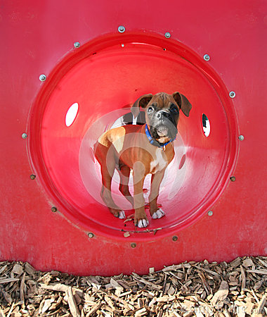 A boxer puppy at a dog park