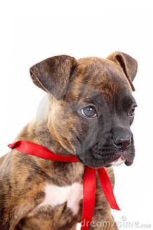 Boxer puppy with red ribbon