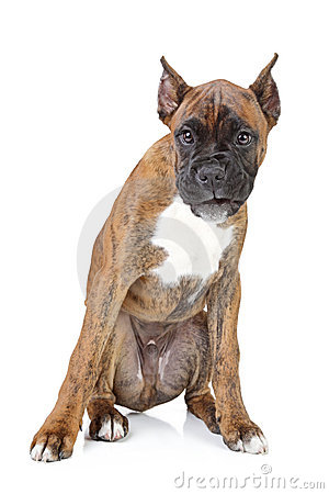 Boxer puppy on a white background