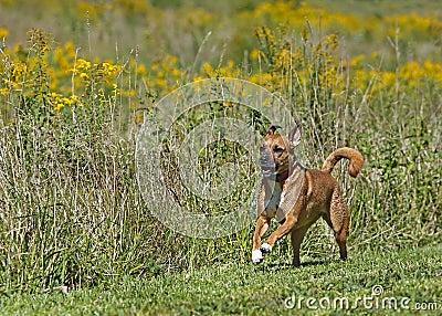 Boxer/Rhodesian ridgeback mixed breed dog