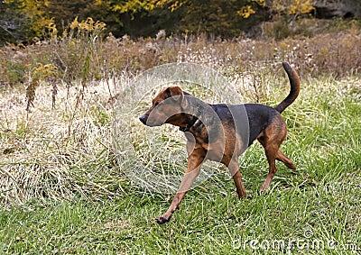 Boxer Shepherd mixed breed dog.