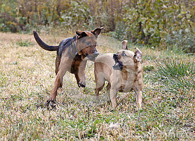 Boxer Shepherd and Puggle mixed breed dogs.