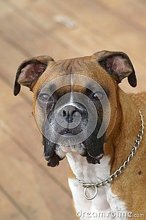Boxer stare down