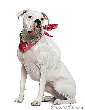 Boxer wearing handkerchief, 2 years old, sitting