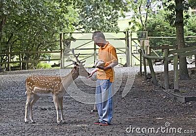 Boy Feeding Fallow Deer.