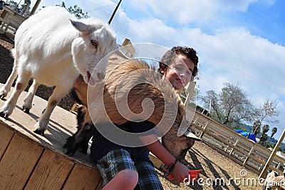Boy feeding hungry goats