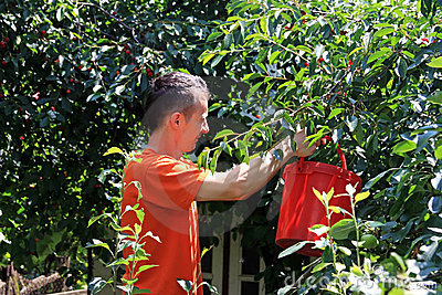 Boy harvesting sour cherries