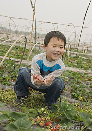Boy harvesting strawberries