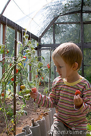 Boy harvests tomatoes