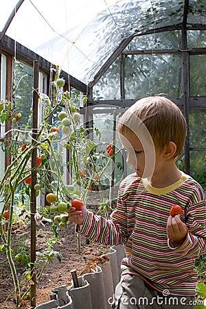 Boy harvests tomatoes