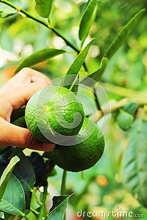 Boy holding a lemon in the garden