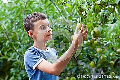 Boy picking pears