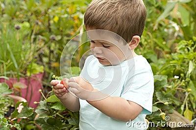Boy picking strawberry