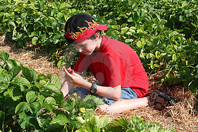 Boy picking a strawberry