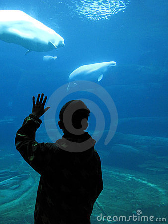 Boy watching beluga whales in an aquarium