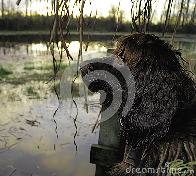 Free Boykin Spaniel Waiting For Ducks To Retreive. Stock Photo - 28195670
