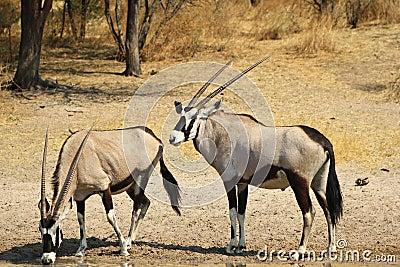 Boys and Girls - Oryx, Gemsbuck