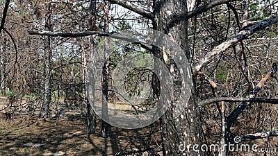 Brända trunkar av tallträd i skogen i svart aska, Ukraina, Kherson-regionen stock video