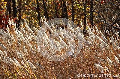 Brązowy trawy