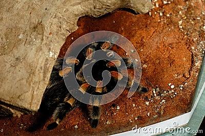 Brachypelma Smithi Mexican Redknee