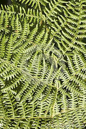 Bracken fern background