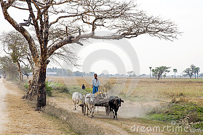 Cattle Cart in Dusty Landscape Editorial Image