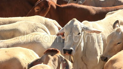 Brahman Beef Cattle Cows agriculture farming. Agriculture farm Brahman Beef Cattle Cows in sale yard pens waiting for live export stock video footage