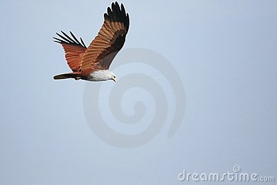 Brahminy Kite on the hunt